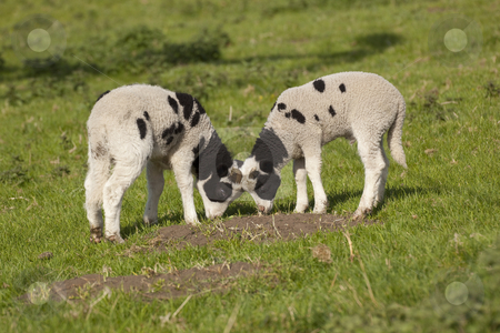 Jacobs lambs in spring stock photo, Jacobs lambs in grassy field in spring by Mike Smith