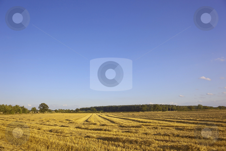 Landscape in summer stock photo, A golden field under a blue sky in summer by Mike Smith