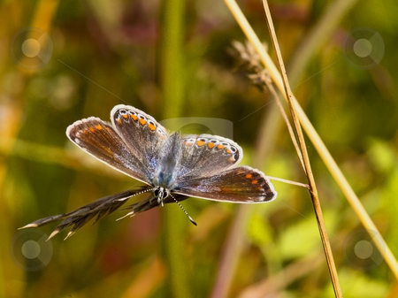 Female common blue butterfly stock photo, A female common blue butterfly in summer by Mike Smith