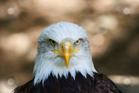 American white eagle stock photo,  by Rados?