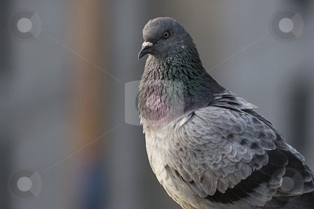 Close up of a bird stock photo, Close up of a pidgeon by Yann Poirier