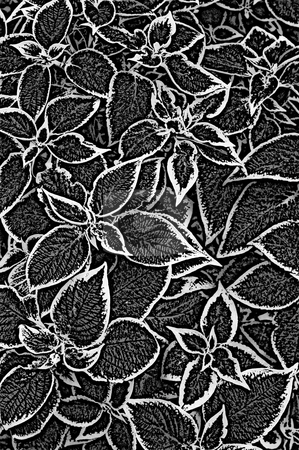 Nettle fibre plant stock photo, Infra red black and white texture of nettle plant leaves by Wino Evertz