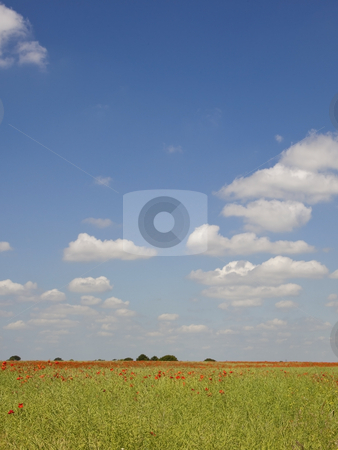 Poppies in fields in summer stock photo, A field of poppies under a blue summer sky with fluffy white clouds by Mike Smith