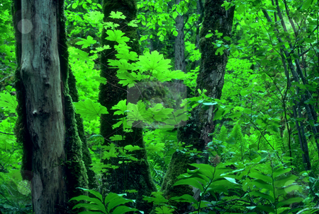 Oregon Woods stock photo, USA, Oregon, Mt. Hood National Forest by David Ryan