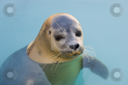 Harbour Seal stock photo, Rescued Harbour Seal or common seal (Phoca Vitulina) by Stephen Meese