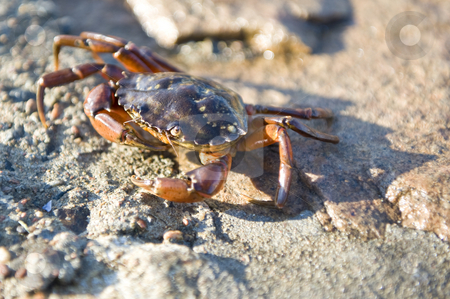 Crab stock photo, Crab on the rocks in the low light of a summer evening by Corepics VOF