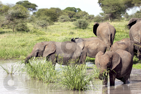 384 Young elephant eating in pond stock photo, Herd of elephants with their young by Sharron Schiefelbein