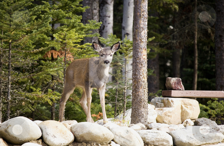 Deer standing on wall stock photo, Young deer standing on a rock wall looking around by Sharron Schiefelbein