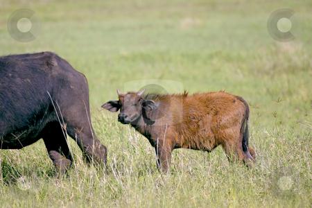 Young Cape Buffalo stock photo, Baby Cape Buffalo in Tanzania by Sharron Schiefelbein