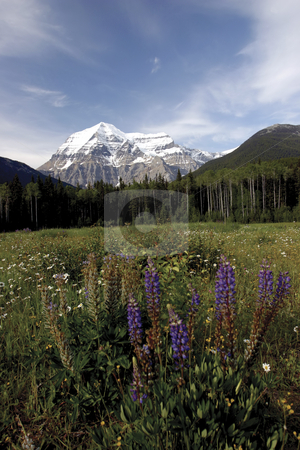181 View of Mountain Robson stock photo, View of Mt Robson with a field of flower in foreground by Sharron Schiefelbein