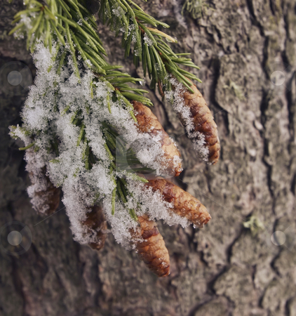 168 Snow on cones stock photo, Winter has came with snow covering everything by Sharron Schiefelbein
