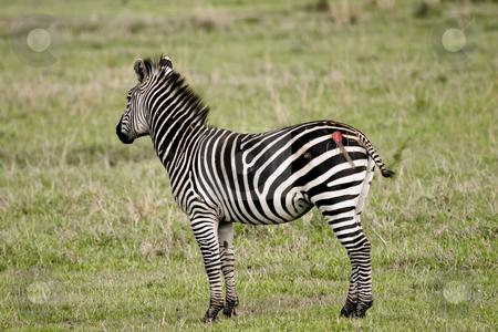 223 Zebra attacked by a lion stock photo, This zebra was attacked by a lion but was able to escape by Sharron Schiefelbein