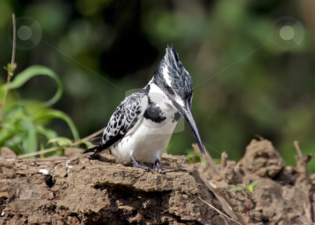 33 Pied Kingfisher Bird stock photo, Pied Kingfisher found on the banks of the Rufiji River in Tanzania Africa by Sharron Schiefelbein