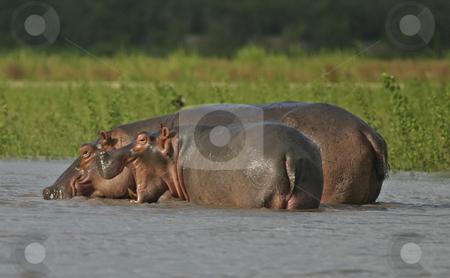 Hippo in the Rufiji River stock photo, Hippos splashing in the Rufiji River Tanzania by Sharron Schiefelbein