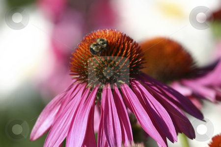Flower with a bee inside stock photo, Pink flower with a bee inside by Sharron Schiefelbein