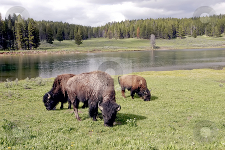 Bison or Buffalo in Yellowstone National Park stock photo, Bison grazing of open grass area with the Yellowstone River behind. by Sharron Schiefelbein