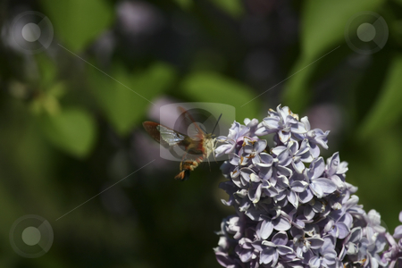 Humming Bee stock photo, Humming bee on flowers by Sharron Schiefelbein