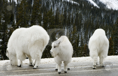 Mountain Goats stock photo, Mountain Goats in Jasper National Park by Sharron Schiefelbein
