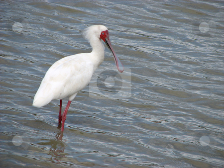 African spoonbill bird stock photo, This African Spoonbill was found in the Rufiji River in Tanzania Africa by Sharron Schiefelbein