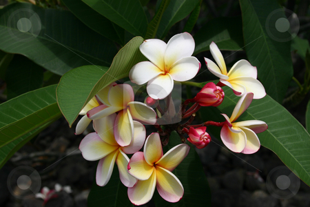 Flower stock photo, A beautiful flower found on the Big Island of Hawaii by Sharron Schiefelbein
