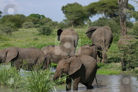 Young elephant eating in pond stock photo, Herd of elephants with their young by Sharron Schiefelbein