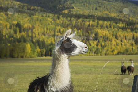 Llama eating grass stock photo, Llama have such interesting looks by Sharron Schiefelbein