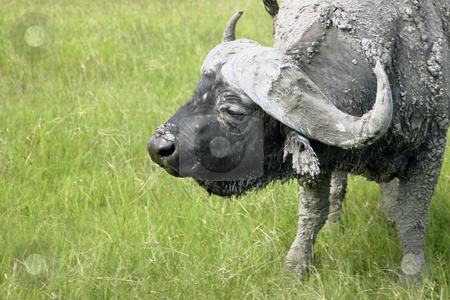 Cape Buffalo stock photo, Close up of a Cape Buffalo in Tanzania by Sharron Schiefelbein