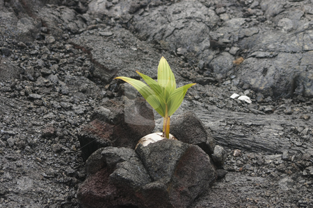 Coconut growing in lava rock stock photo, Put lava rock around a coconut to stabilize the roots in nothing but lava and it grows.  Wow! by Sharron Schiefelbein