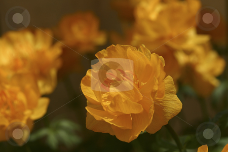 Close up of flowers stock photo, Brilliant orange flowers by Sharron Schiefelbein