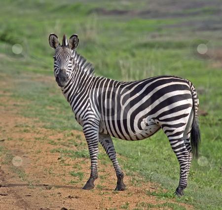 392 Zebra walking in Mikumi National Park stock photo, Zebra walking in Mikumi National Park in Tanzania Africa by Sharron Schiefelbein