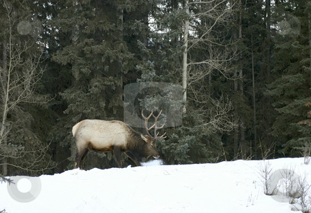 Elk pawing snow stock photo, Bull elk pawing snow looking for grass by Sharron Schiefelbein