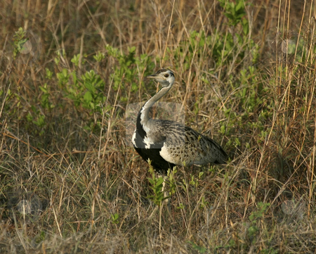 222 Black bellied bustard bird stock photo, A swift-running bird that blends in its surrounds by Sharron Schiefelbein