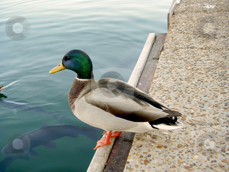 137 Duck stock photo, Duck on the edge of lake by Sharron Schiefelbein