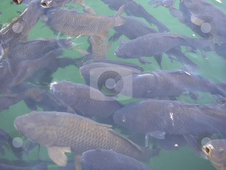 173 Fish in Lake stock photo, Dozens of fish close to the surface of the water in a lake by Sharron Schiefelbein
