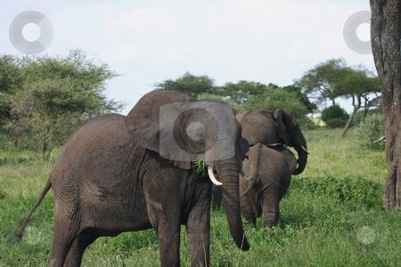 Elephant eating stock photo, Elephants in Tarangire Park in Tanzania, Africa by Sharron Schiefelbein