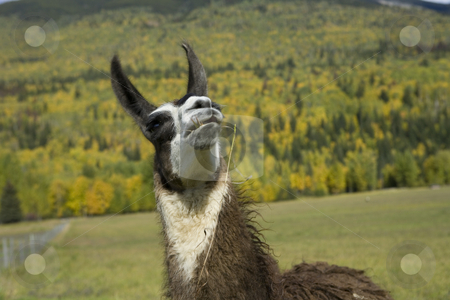 Llama looking up stock photo, Alpaca,   Andes,   Animal,   Animal Themes,   Indigenous Culture,   Landscape,   Livestock,   Llama,   Nature,   Peru,   South America,   South American Culture,   Traditional Culture,   White,   Wildlife,   Wool, Australia, farm, curly hair, Exoticism, a by Sharron Schiefelbein
