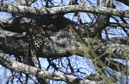 270 Leopard in tree sleeping stock photo, Well hidden in a tree a leopard is sleeping. by Sharron Schiefelbein