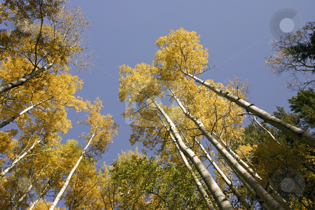 277 Birch trees in full autumn colors stock photo, A shot upward at a blue sky by Sharron Schiefelbein