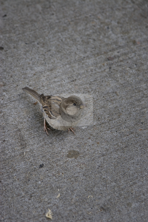 Female sparrow stock photo, Female sparrow walking on concrete, looking at the camera by Yann Poirier