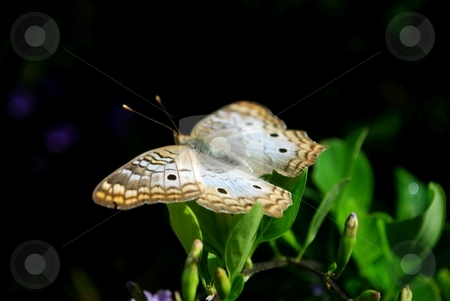 White peacok butterfly stock photo, White peacok butterfly getting some sun by Charles Bacon jr