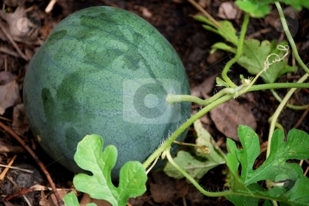 Watermelon stock photo, Watermelon growing in the garden by Charles Bacon jr