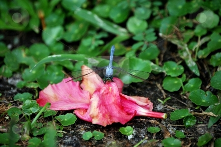 Dragon fly stock photo, Colorfull dragon fly by Charles Bacon jr