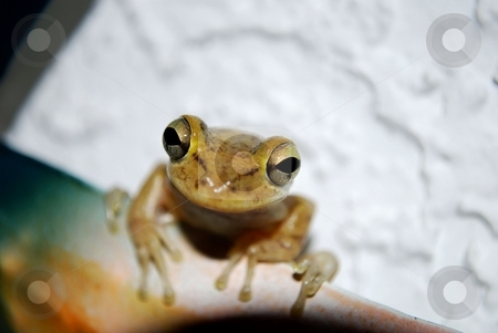 Frog stock photo, Night frog just checking thinks out by Charles Bacon jr