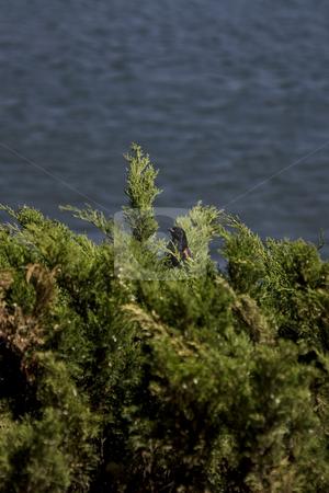 Redwing hidding stock photo, Redwing black bird hidding in a cedar bush by Yann Poirier