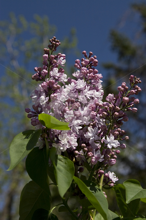 Purple Lilac in bloom stock photo, Branch of purple lilac in bloom against a blue sky by Yann Poirier