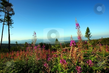 Pink flower in foreground of a forest stock photo, Pink flower in foreground of a forest scenery in summer with clear blue sky by Juraj Kovacik