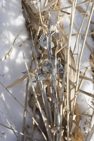 Dry plant  stock photo, Close up of dry plant resting on the snow by Yann Poirier