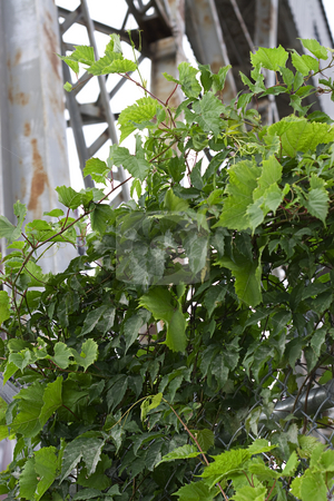 Vine in the city stock photo, Grape vine growing in an urban setting by Yann Poirier