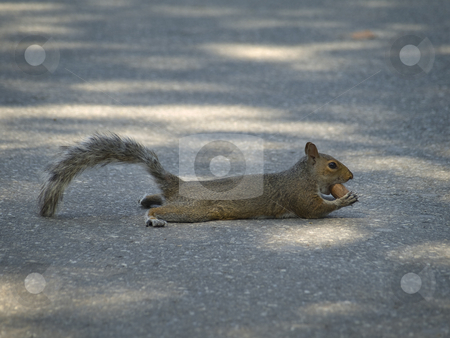 Eating a nut stock photo, A grey squirrel laying on the street while eating a nut. by Ignacio Gonzalez Prado