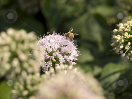Collector bee stock photo, A bee collecting pollen from a flower. by Ignacio Gonzalez Prado